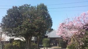 石垣山観音寺 桜