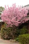 春の観音寺